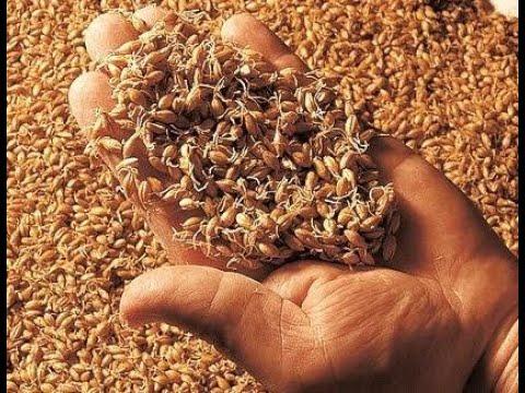 Пшеничная брага без сахара.Брага из зеленого солода. Пшеничный самогон
