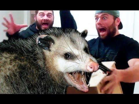 Pet Opossum Complaining | Doovi