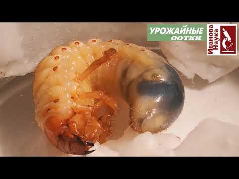 Фильм ужасов: грибок поедает личинку майского жука. Биологическое оружие против вредителей.