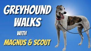 Greyhound Walks with Magnus & Scout