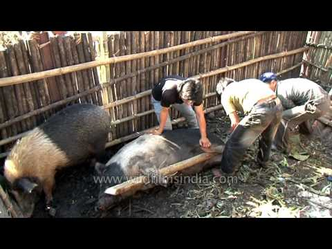 Hoisting pigs out of pig pen, for sacrifice, Arunachal, India thumbnail
