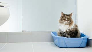 How to Litter Train a Cat - Guidelines