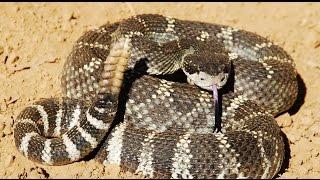 Rattlesnakes California Northern