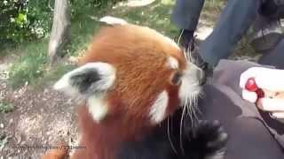 Домашняя красная панда  Потешные животные