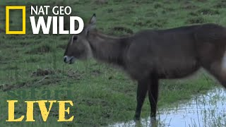 Safari Live - Day 49 | Nat Geo WILD thumbnail