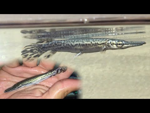 Extremely Rare ALLIGATOR GAR Most People Have never Seen One