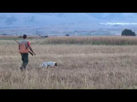 English setter Boss - 13 μηνών σε ορτύκι - 13 months old - Quail hunting in Greece