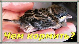 ЧЕМ КОРМИТЬ ПТЕНЦА ВОРОБЬЯ и других певчих птиц.Нужно ли спасать слетков.Каким птенцам нужна помощь.