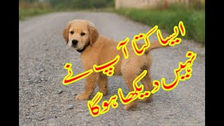 dhirkot azad kashmir genus dog for sale 03465229411