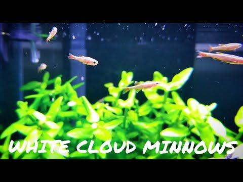 BEGINNER FISH:  White Cloud Minnow ( Tanichthys Albonubes )