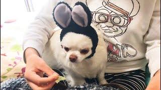 いやしい黒ウサギ 食べ物の前ではすべてを忘れてしまう!チワ~ワのコハクさん thumbnail