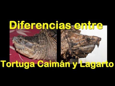 Tortuga lagarto y tortuga caiman diferencias por spyder a for Diferencia entre yeso y escayola