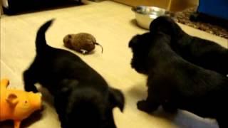 Shitzu X Westie Puppies (lickle Shitties)