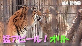 旭山動物園のライオン「オリト」とアムールトラ「キリル」。 Shot at As...
