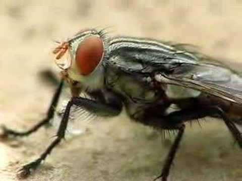 House Fly Eating Sugar Cube