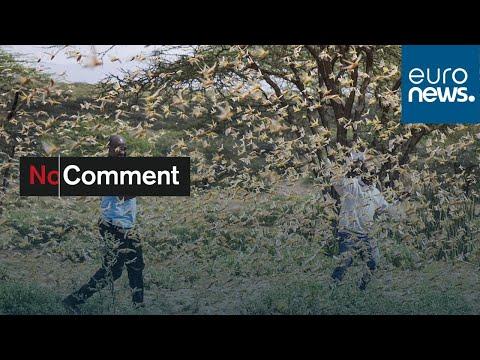 شاهد: الجراد الصحراوي يغزو كينيا ويهدد الدول المجاورة  - نشر قبل 40 دقيقة