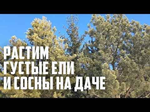 Как вырастить густые елки на даче