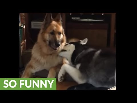 Husky desperately attempts to play with German Shepherd