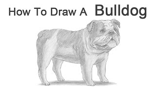 How To Draw A Dog (english Bulldog)