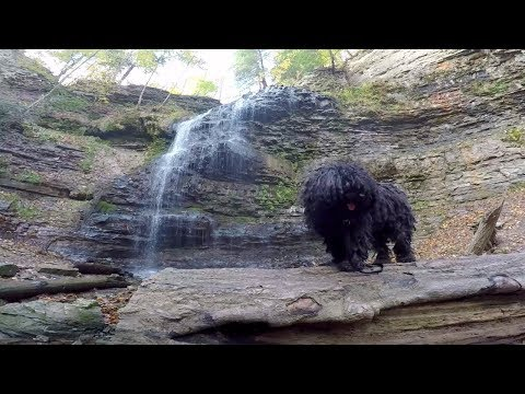 Waterfalls with Ziggy The Puli