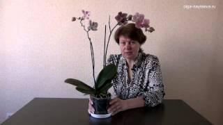 видео Сколько цветет орхидея Фаленопсис? И что делать если орхидея долго не зацветает