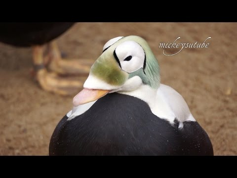 Living Coast Torquay Unusual Eider Duck