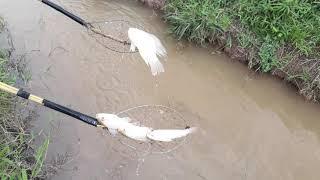 Kích cá 16 Đê  test thực tế kích cá rô phi đt0988167651 Đánh Đồng tam thiên mẫu