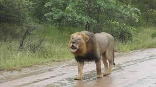 Big male Lions in the rain.