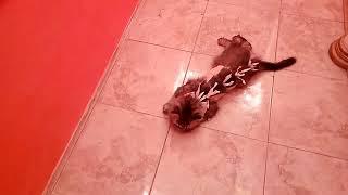 Кошка отходит от наркоза (2.5 часа после стерилизации)