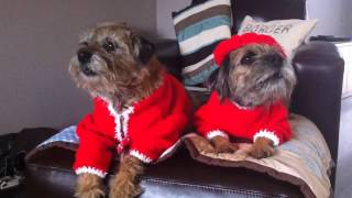 Border Terriers Jack And Molly Singing For  Christmas