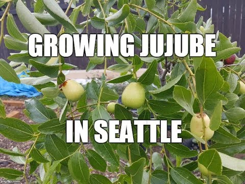 Jujubes - A great tasty fruit you can grow in the backyard