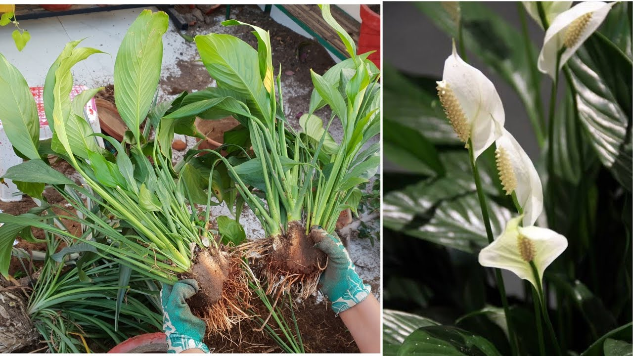 How To Divide Peace Lily Plant Spathiphyllum How To Separate Baby Plants From Peace Lily Youtube