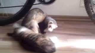 Funny polecat playing with kitty cat 1