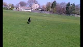 Advanced Obedience Dog Training - Guinness With Awesome Paws Academy