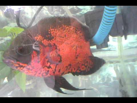 Cá Tai Tượng châu Phi