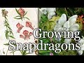 Growing Snapdragons - Flowers for Your Garden