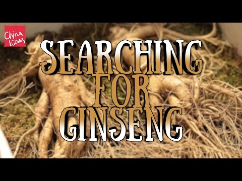 Hunting for Wild Ginseng | A China Icons Video