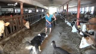 Umstritten -- Genmaisanbau auch in Europa