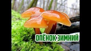 Где искать грибы зимой / Опенок зимний / Flammulina velutipes
