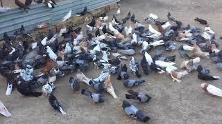 Николаевские голуби. Крым, Евпатория +79787169329