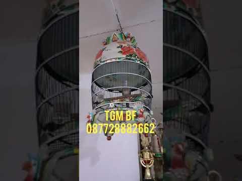 [[ TGM 5039 A.5 ]] TGM BF X TOP BF PLUS BONUS 2 EKOR