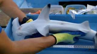 Scalloped Hammerhead Shark Conservation in Costa Rica