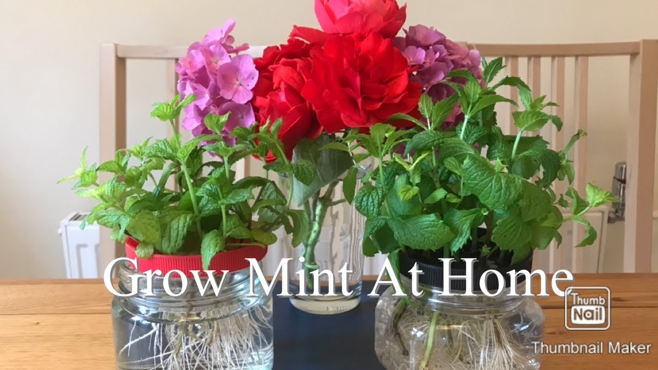 How To Grow Mint At Home In A pot (London) #151