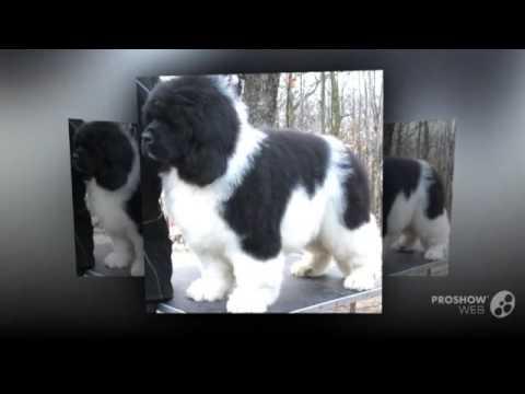 landseer dog breed youtube. Black Bedroom Furniture Sets. Home Design Ideas