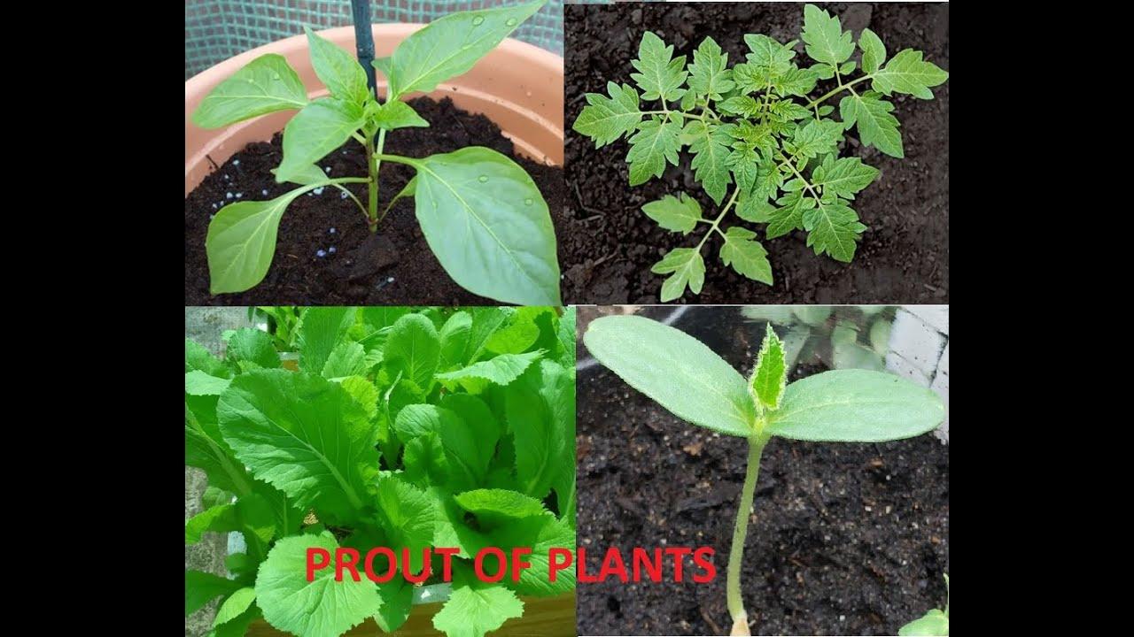 Cuộc Đua Nảy Mầm Của Các Loài Cây   Prout Of Plants