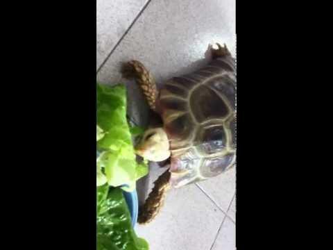 緬甸象龜 Elongated tortoise (Burmese tortoise) Part 2 (2013)