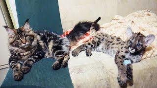 СРАВНЕНИЕ КОТЕНКА ПУМЫ И РЫСИ / Игры больших собак / Тренинг диких кошек