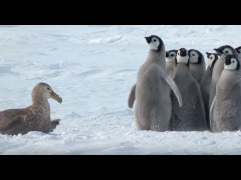 Penguin Chicks Stand Up To Giant Petrel...With The Help of a Friend!