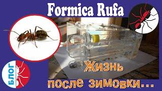 Муравьи Formica Rufa. Замена пробирок в формикарии.
