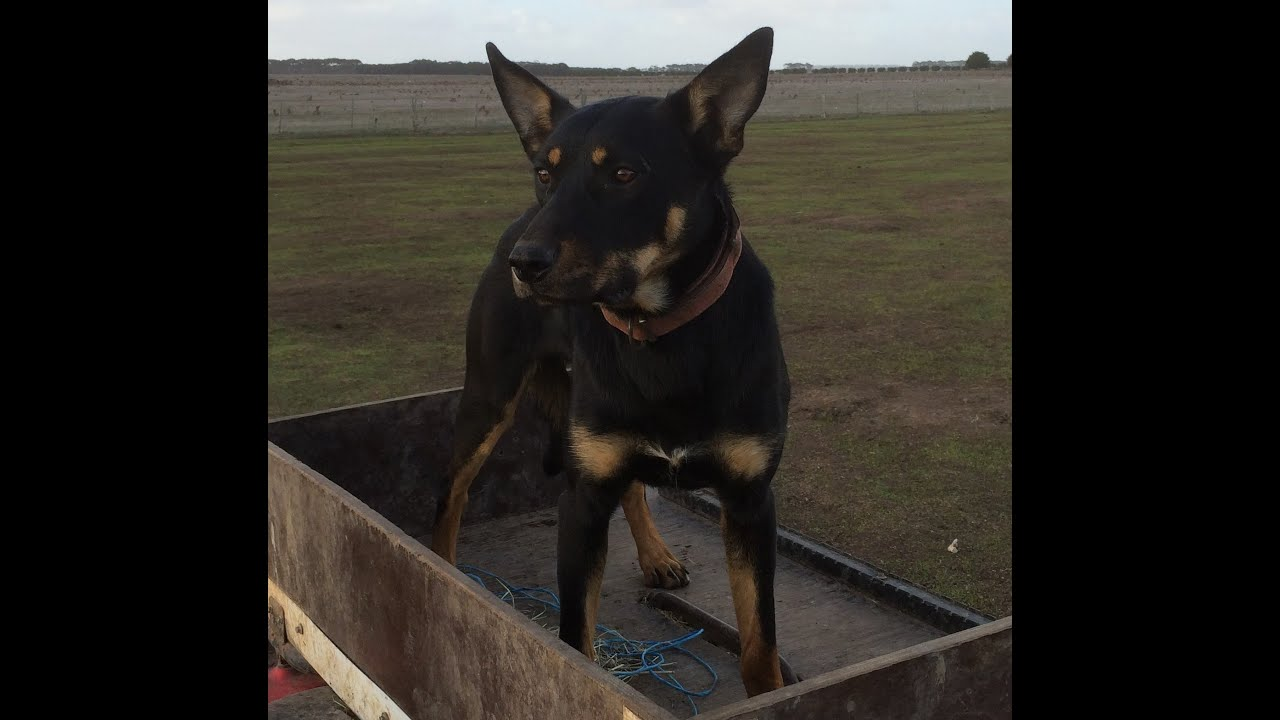 Myamba Working Dogs | For Sale
